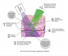 Fluorescenza dei tessuti | Goccles
